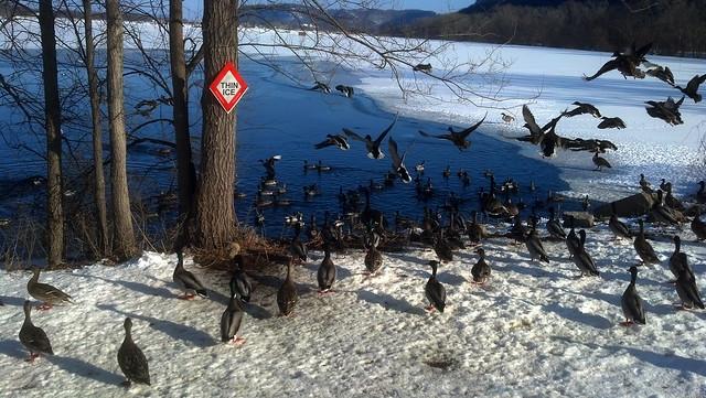 birds in a spot of open water